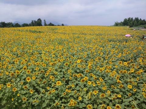 丹生湖のひまわり畑